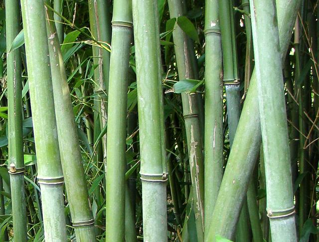 zeer sterke tuinbamboe