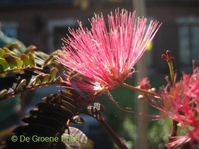 Albizia julibrissin Evis purple
