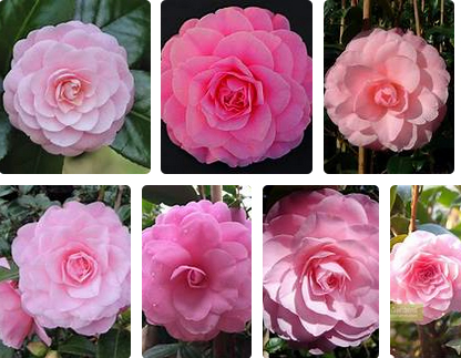 Camellia japonica Betty Ridley