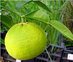 Citrus ichangensis (Lemon fruit tree)