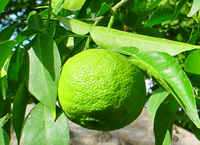 Citrus junos Yuzu (Yuzu lemon fruit tree)