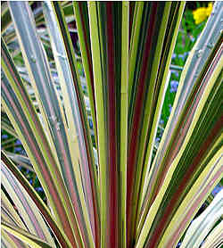 Cordyline australis Albertii (Cabbage tree)