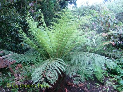 Dicksonia antarctica  (Tree fern)