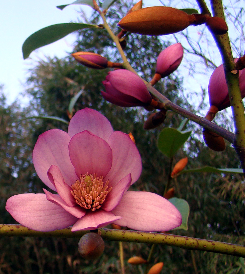 Michelia Fairy Magnolia Blush