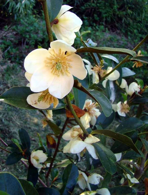Michelia yunannense Fairy White
