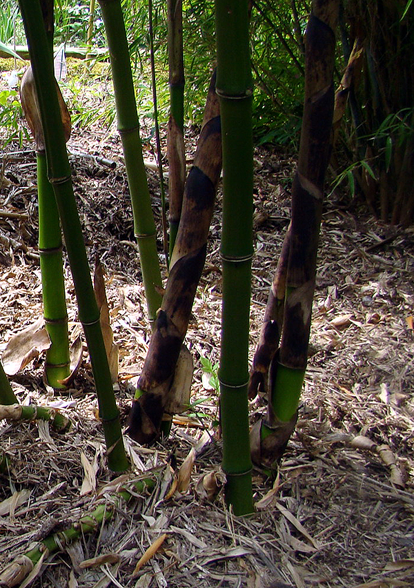 Phyllostachys prominens