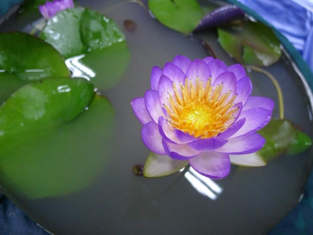Queen Sirikit represents a new generation of Waterlily-hybrids