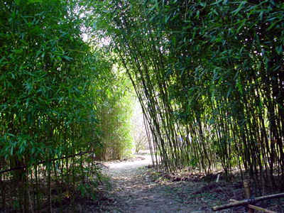 Phyllostachysbossages