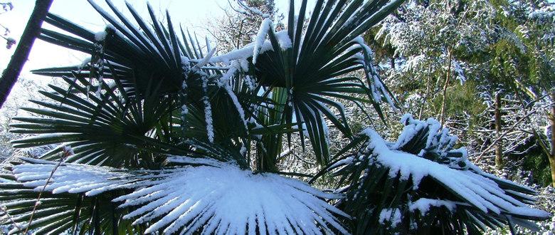 Winterharde Trachycarpus fortunei