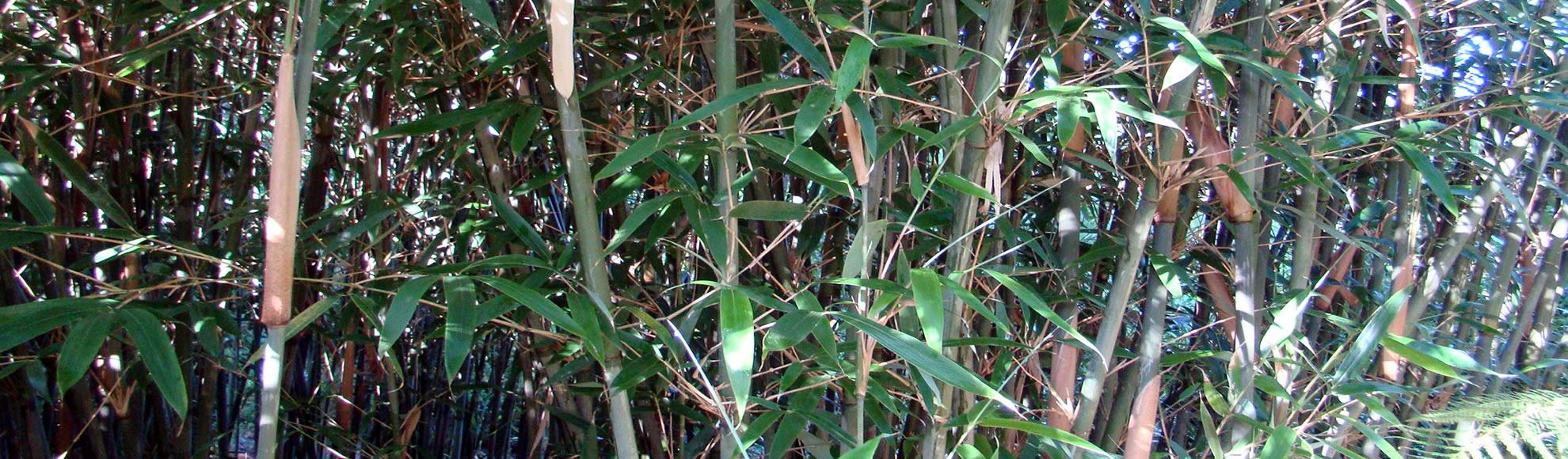 Bamboekwekerij