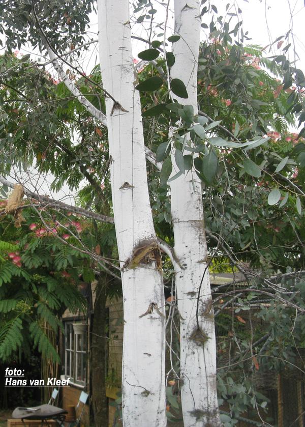 Prachtige bast van Eucalyptus gunnii divaricata