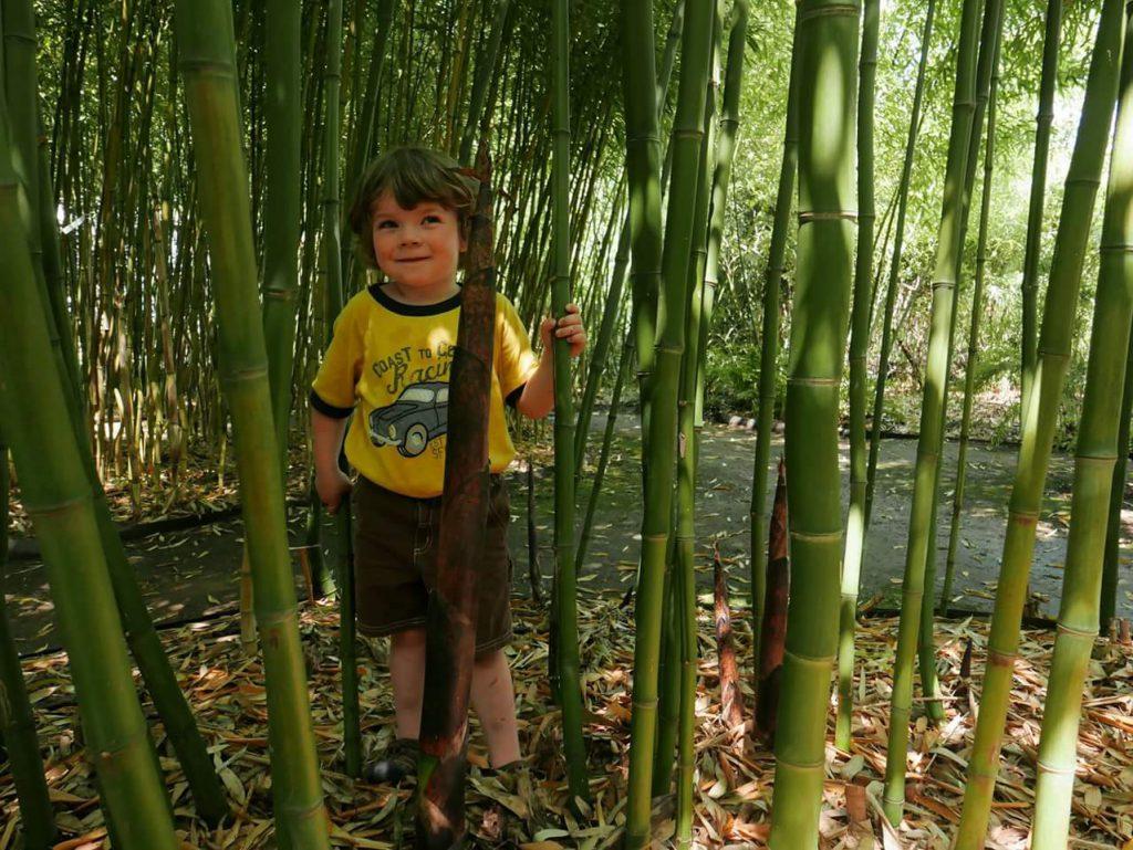 Volwassen reuzenbamboe in een bamboetuin (Kwekerij Rosteto, Praag)