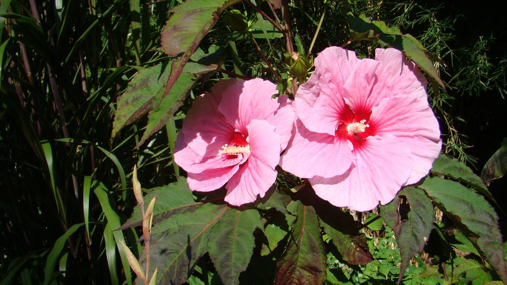 hibiscus-summer-storm