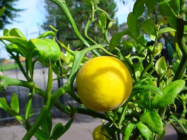 winterharde citroen Poncirus trifoliata botanische tuin De Groene Prins