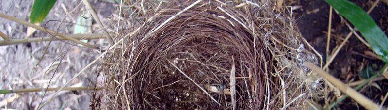 Trachycarpus fortunei palmen zijn geliefd bij vogels