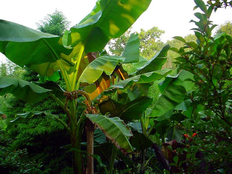 The edible banana Musa basjoo