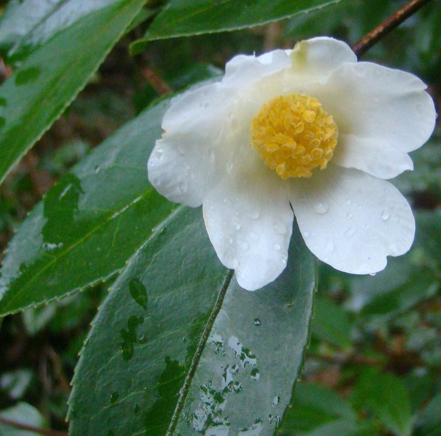 Camellia oliefera Lushan