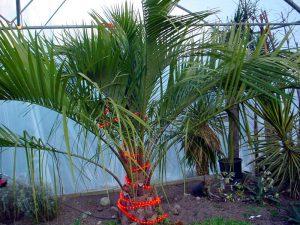 Butia eriospatha is  een goede palm voor de tuin, maar alleen met winterbescherming