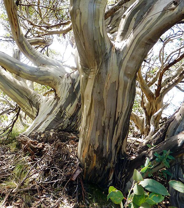 Eucalyptus niphophila Snowy Mountains Australië