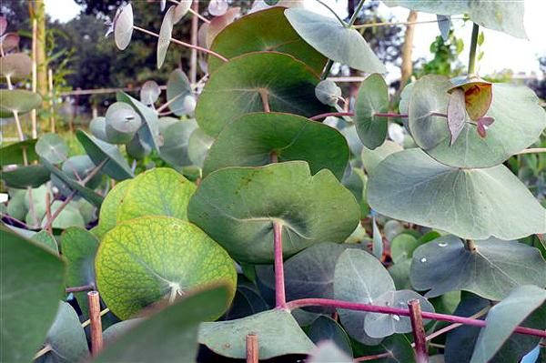 jeugdblad Eucalyptus perriniana