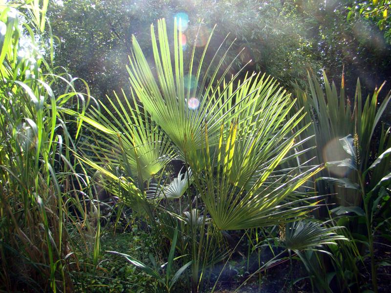 zonlicht in het palmblad van een Trachycarpus