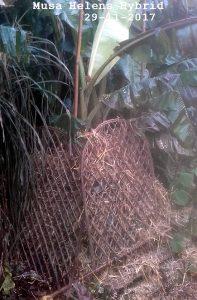 tuinbanaan met winterbescherming