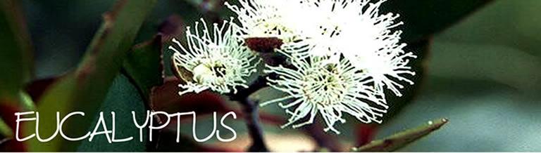 Eucalyptus DeGroenePrins