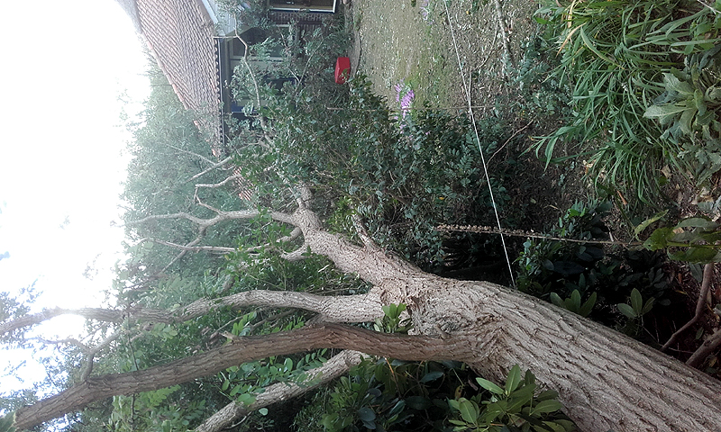 Robinia blown over by a severe storm early Autumn