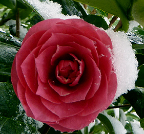 Camellia black lace bij deGroenePrins