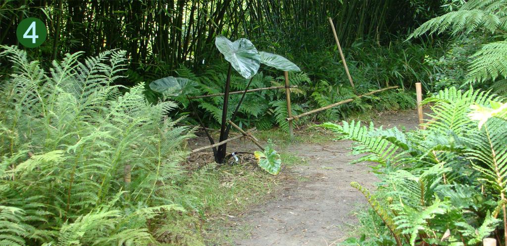 Colocasia at DeGroenePrins botanical garden