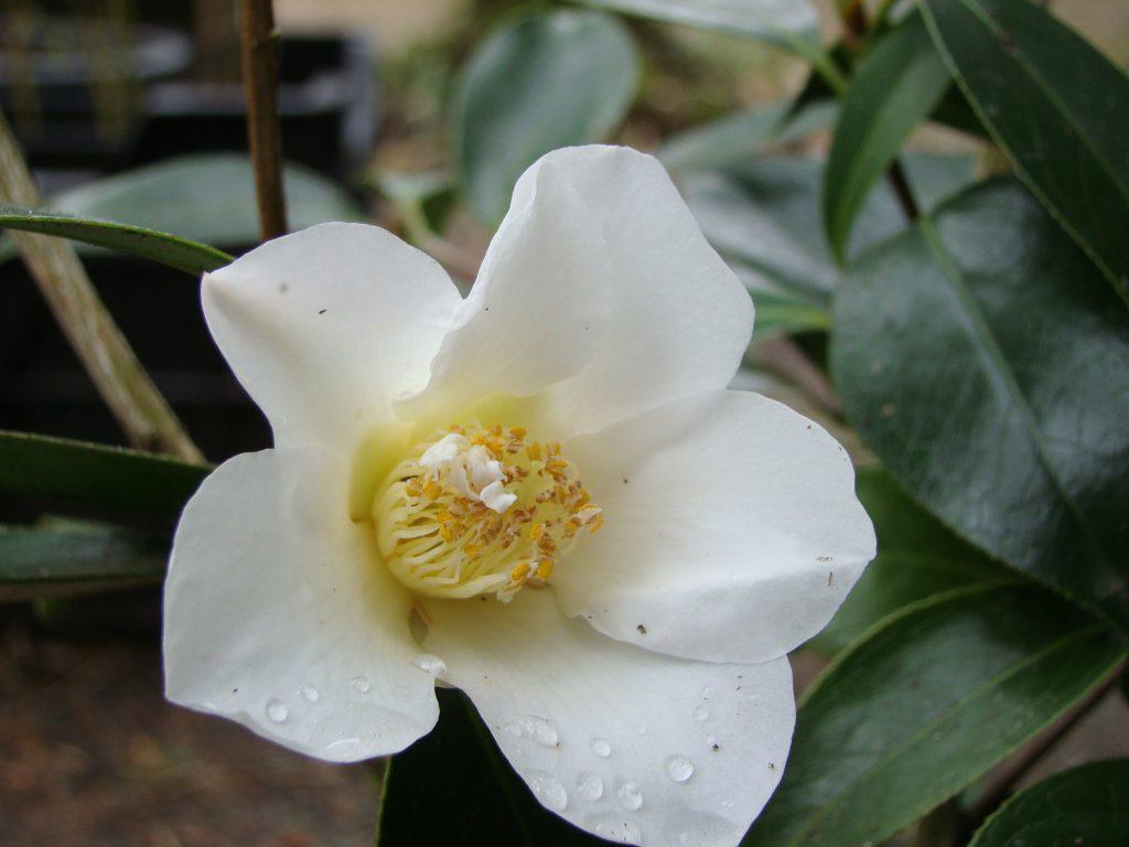 Bloei Camellia bij Botanische tuin De Groene Prins