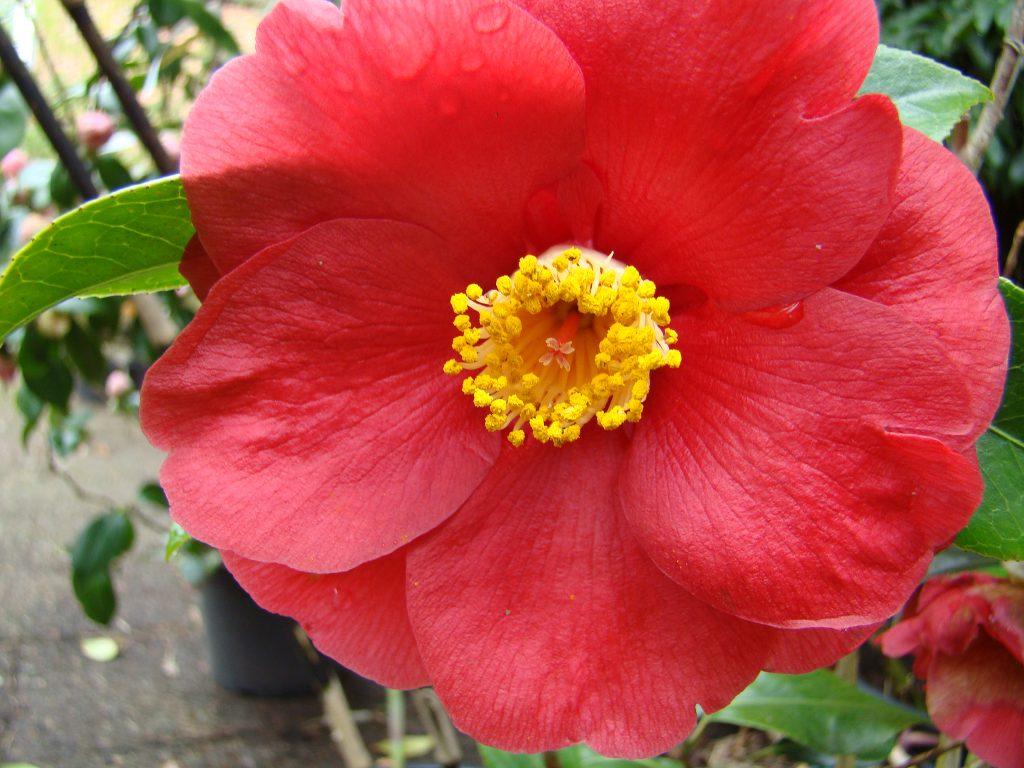 Camellia Jupiter met enkele rode bloemen bij Botanische tuin De Groene Prins