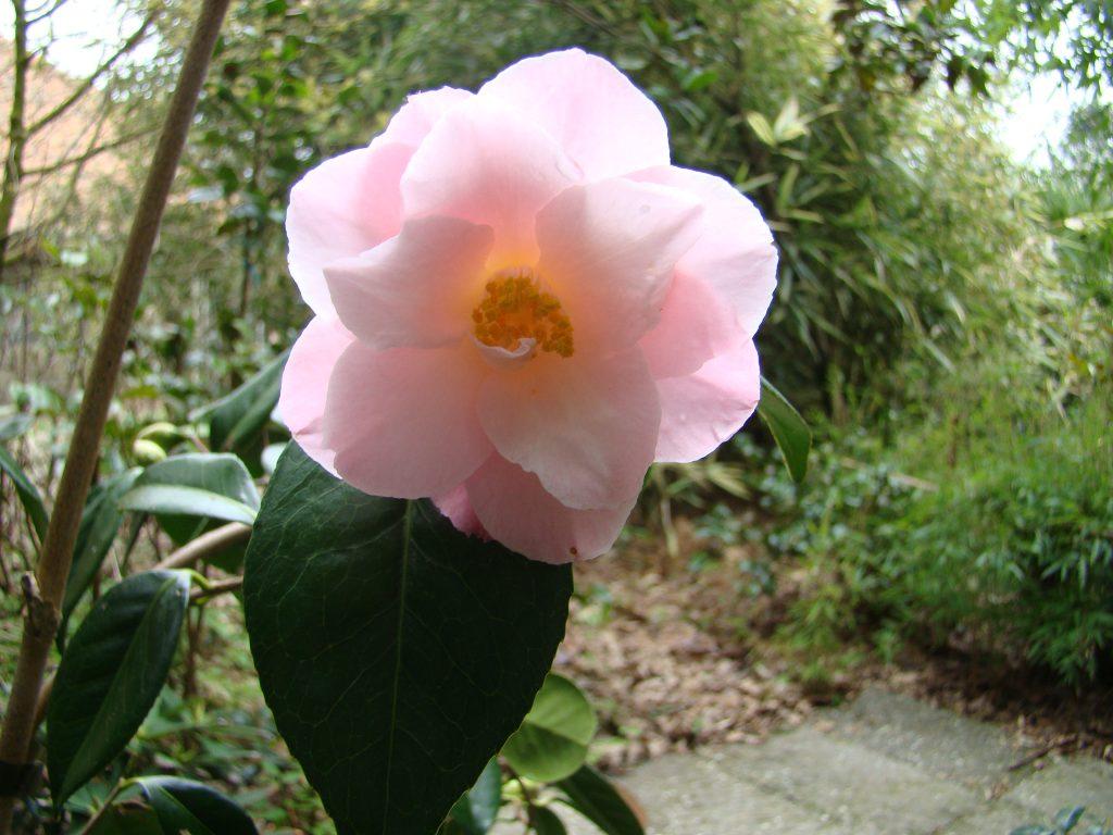 Camellia Berenice Body met enkele roze bloemen bij Botanische tuin De Groene Prins