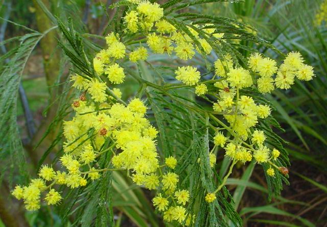 Mimosa (Acacia dealbata) kan jarenlang groeien en bloeien voordat een strenge winter daar een eind aan maakt