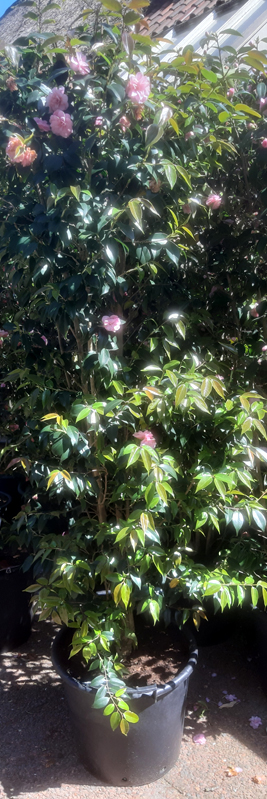 Camellia Spring Festival - great as a hedge. Available now at DeGroenePrins