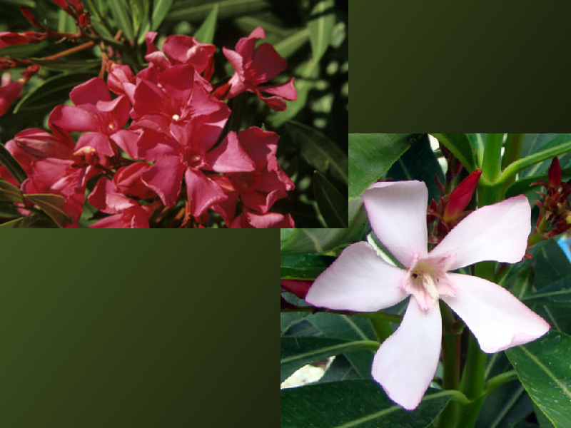 Nerium oleander 'Atlas' en 'Italia'.