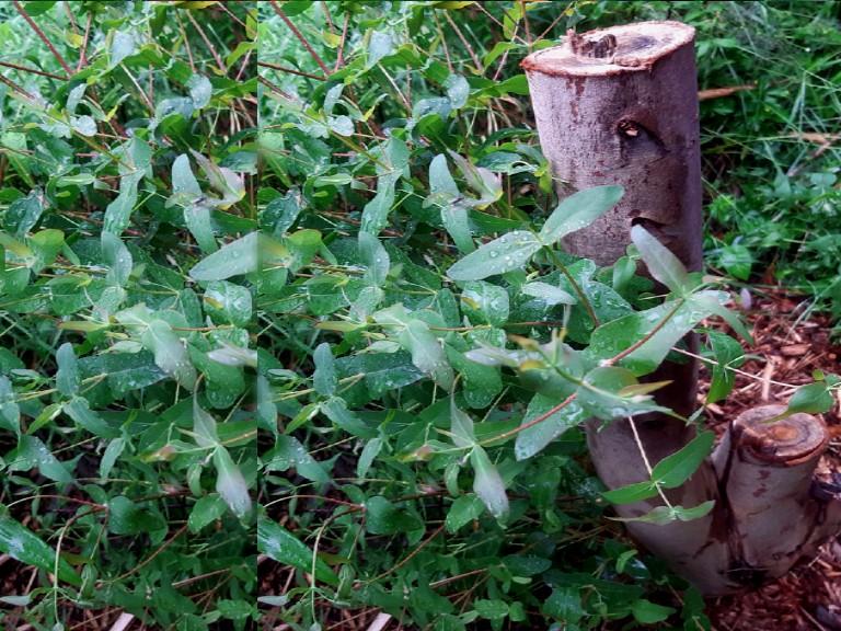 Ecualyptus-viminalis - winterhard